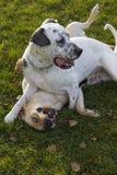 Dos perros que juegan en el parque, Labrador y el dalmatian Imagenes de archivo