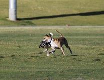 Dos perros que juegan en el parque que hace caras Fotos de archivo