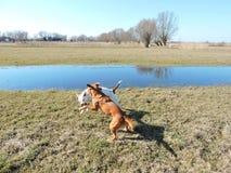 Dos perros que juegan en hierba Imagen de archivo libre de regalías