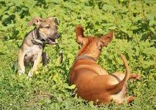 Dos perros que juegan en la hierba Fotografía de archivo libre de regalías