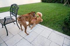 Dos perros que juegan en la hierba en la puesta del sol Imagenes de archivo