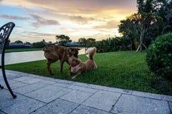 Dos perros que juegan en la hierba en la puesta del sol Fotos de archivo
