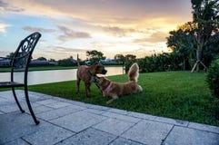 Dos perros que juegan en la hierba en la puesta del sol Imagen de archivo libre de regalías