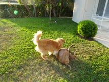 Dos perros que juegan en la hierba en la puesta del sol Fotografía de archivo