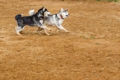 Dos perros que juegan en la tierra Imágenes de archivo libres de regalías