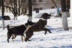 Dos perros que juegan en nieve Fotos de archivo libres de regalías