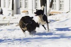 Dos perros que juegan en nieve Imagen de archivo libre de regalías