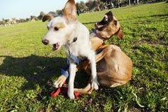 Dos perros que juegan en parque Imagenes de archivo