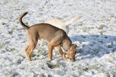 Dos perros que juegan en parque de la nieve Imágenes de archivo libres de regalías