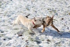 Dos perros que juegan en parque de la nieve Fotos de archivo libres de regalías