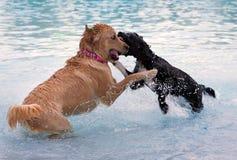Dos perros que juegan en piscina Imágenes de archivo libres de regalías