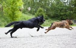 Dos perros que juegan feliz Imagen de archivo