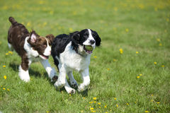 Dos perros que juegan la persecución Fotografía de archivo