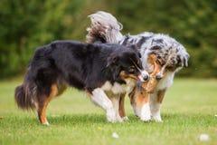 Dos perros que luchan para un bolso de la comida Foto de archivo