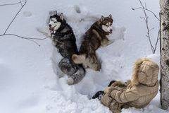Dos perros que mienten en la nieve profunda con una chica joven Visión superior, animales domésticos con la presentadora que cami foto de archivo libre de regalías