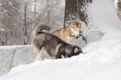 Dos perros que miran en la nieve Perros esquimales y perro esquimal Imagen de archivo libre de regalías