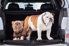 Dos perros que presentan en un tronco de coche fotos de archivo