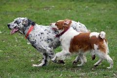 Dos perros que se ejecutan en un paquete Imagen de archivo libre de regalías