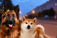 Dos perros que se sientan en las luces del fondo de la ciudad de la noche Igualación de la caminata Imágenes de archivo libres de regalías