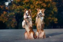 Dos perros rojos que llevan una bufanda en otoño Fotos de archivo