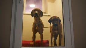Dos perros se fueron en el hotel para los perros en la clínica del cuidado de animales de compañía almacen de video