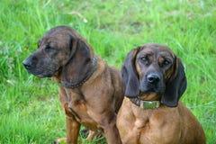 Dos perros se sientan en la hierba fotografía de archivo