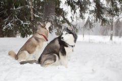 Dos perros se sientan en la nieve y miran alrededor Invierno Perro esquimal del bosque Foto de archivo