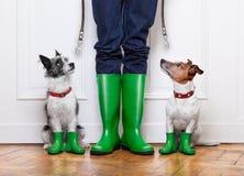 Dos perros y dueño Foto de archivo