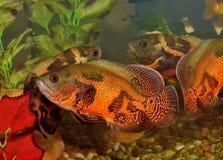 Dos pescados de Óscar en un acuario con reflexiones fotografía de archivo