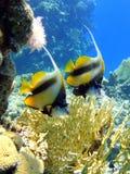 Dos pescados de mariposa Fotografía de archivo