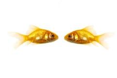 Dos pescados de oro Foto de archivo