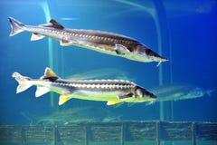 Dos pescados del esturión de la beluga fotos de archivo