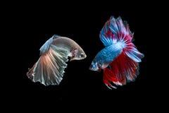 Dos pescados que luchan Imagen de archivo