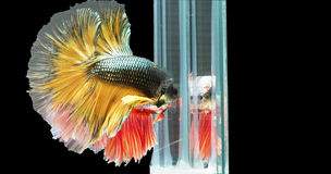 Dos pescados que luchan siameses en la acción, cerrada-para arriba con el fondo negro, técnica DUAL del ISO Betta rojo f Fotos de archivo