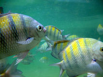 Dos pez de colores el Brasil Foto de archivo