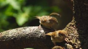 Dos Philippine Maya Bird o gorrión de árbol del eurasiático que se encarama en la rama de árbol que picotea granos del arroz metrajes