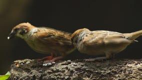 Dos Philippine Maya Bird o gorrión de árbol del eurasiático que se encarama en la rama de árbol que picotea granos del arroz almacen de metraje de vídeo