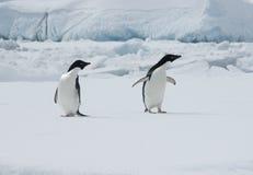 Dos pingüinos de Adelie en una masa de hielo flotante de hielo. Fotos de archivo