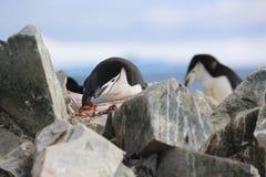 Dos pingüinos de Chinstrap en la Antártida Imagen de archivo libre de regalías
