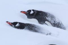 Dos pingüinos de Gentoo en la nieve Fotografía de archivo