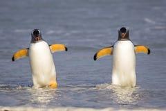 Dos pingüinos de Gentoo que vienen adentro de la pesca Imágenes de archivo libres de regalías