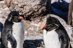 Dos pingüinos de la Roca-tolva imagen de archivo