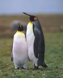 Dos pingüinos de rey Imagen de archivo