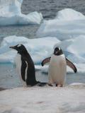 Dos pingüinos del gentoo en el hielo Imagenes de archivo