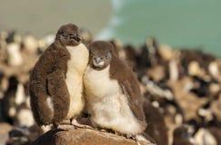Dos pingüinos juveniles del rockhopper que se colocan en una piedra Foto de archivo libre de regalías