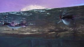 Dos pingüinos lindos nadan debajo del agua en el acuario de Berlin Zoo almacen de metraje de vídeo