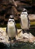 Dos pingüinos mojados que se sientan en una roca Fotos de archivo libres de regalías