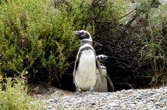 Dos pingüinos que ocultan en los arbustos Imagen de archivo