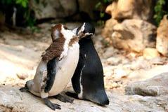 Dos Pinguins que se besa Fotografía de archivo