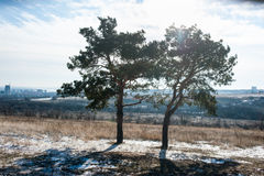 Dos pino-árboles en el campo Fotografía de archivo